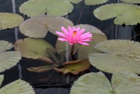 water-lily_0150