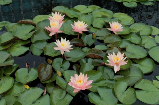 water-lilies_0177
