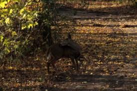 deer_1500