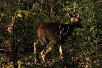 deer_1523
