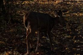 deer_1527
