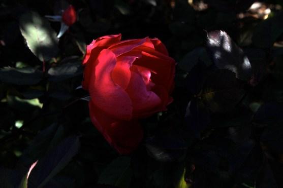red_rose_1920