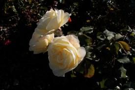 cream_rose_1922