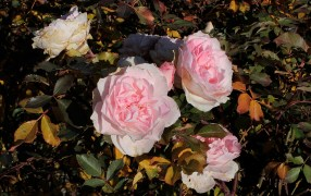 pink_rose_1947