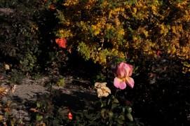 mixed_roses_1948