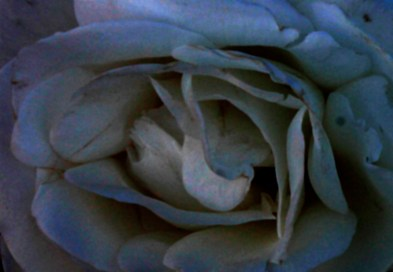 photoshopped_rose_1950b