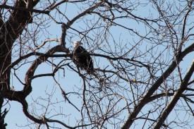 eagle_2087