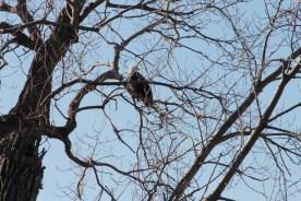 eagle_2088