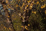 fall_color_tree_yellow_1468