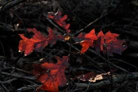 fall_color_oak_leaves_1540
