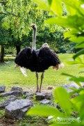 Ostrich posing.