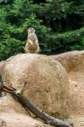 Suricate on a rock.