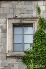 Pigeon above the window