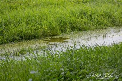 Spawn on Radensko polje
