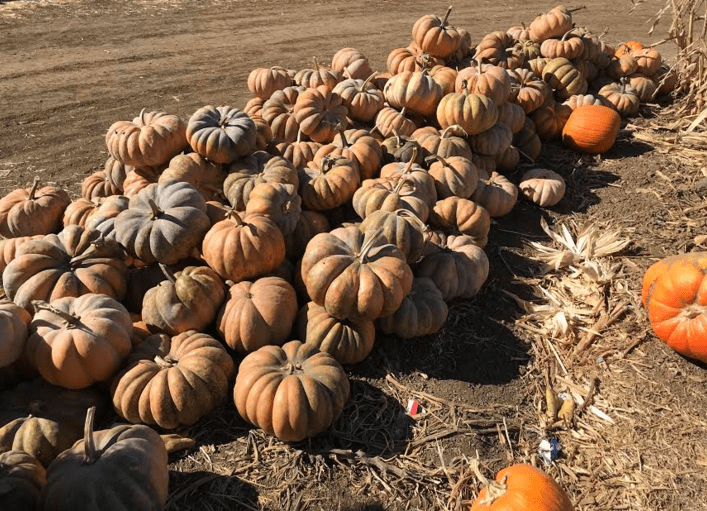 """Pumpkin Patching""… is that a verb?"