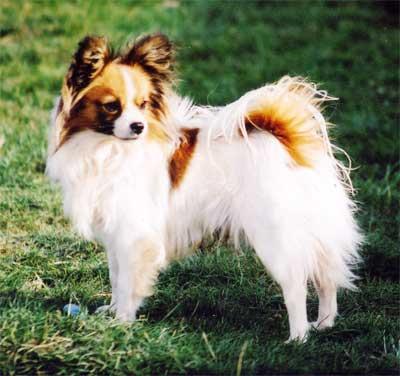 anjing papillon