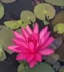 Ohne Schlamm kein Lotus