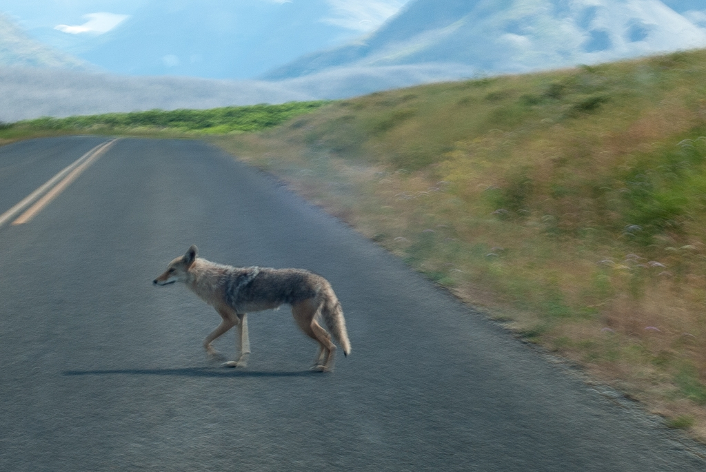 this is a coyote, not a fox
