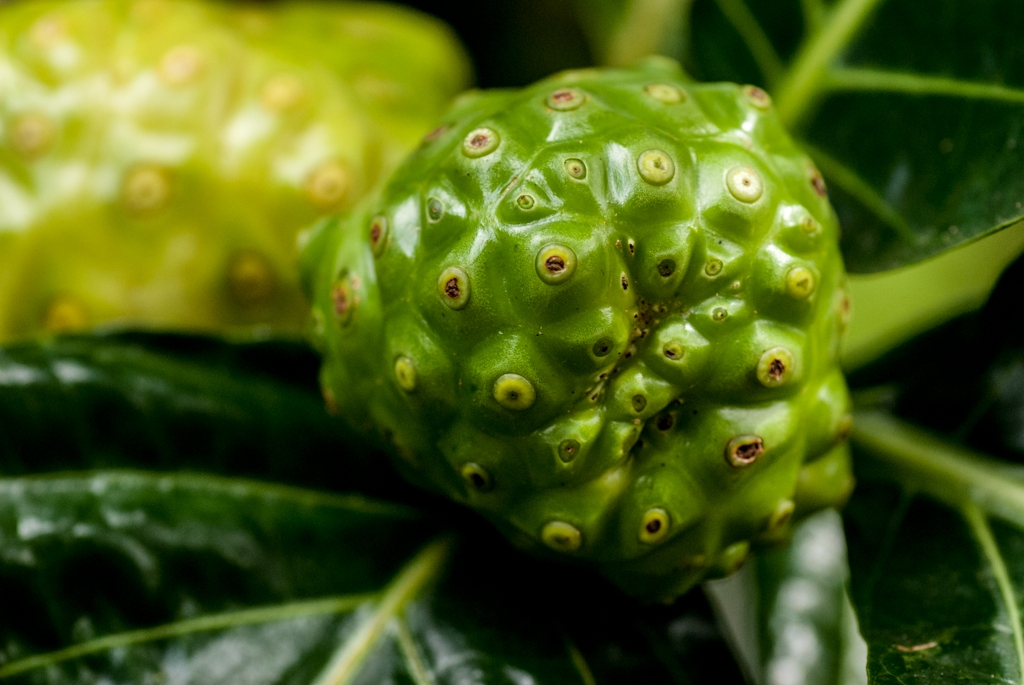 the fruit of the noni tree