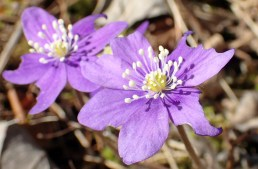 ljust violett...