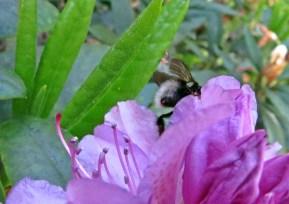 Även rhododendron lockar jordhumlan...