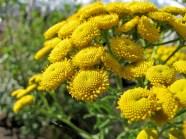 Renfanans blommor är som hundratals små solar.