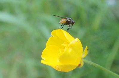 Smörblomma med fluga...