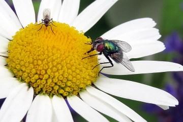 Två flugor på prästkrage
