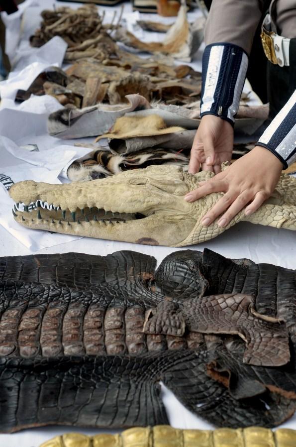 Petugas menata barang bukti hasil kejahatan konservasi sumber daya alam dan ekosistemnya sebelum dimusnahkan di Lapangan Bhayangkara, Jakarta, Selasa (2/2).