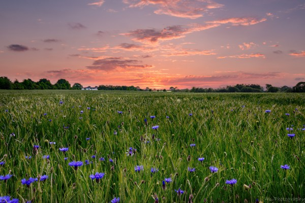 Sunset over field of cornflowers