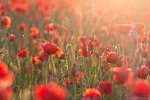 Poppies in golden light I