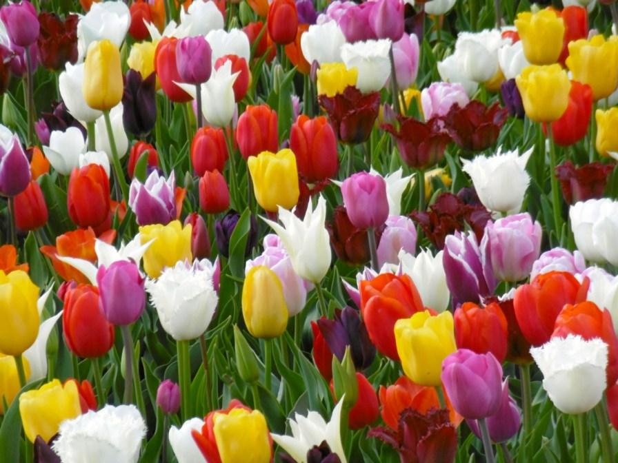 Tulpen in allen Farben