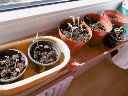 auf der Fensterbank-Chili und Tomaten