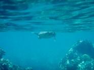 Hawaii Big Island - 49 Black Sand Beach sea turtle!
