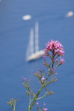 Wildflowers in Anacapri