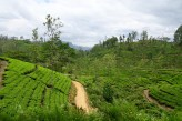 View of tea plantations from the train