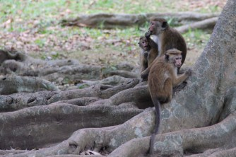 Monkeys at the Kandy Botanical Gardens