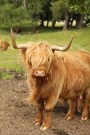 A 'Highland Cow' - with a long wavy coat