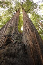 Avenue of the Giants in California, a 'double' Redwood