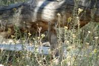 Wild bobcat on the boardwalk at the Big Morongo Canyon Preserve