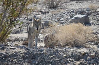 Coyote at Death Valley National Park