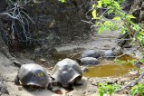 Giant land tortoises relaxing at a pond on San Cristobal Island, Galapagos