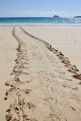 Sea turtle tracks on the beach on Floreana Island, Galapagos