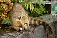Creepy coati (raccoon like animal) stealing food at Iguazu Falls