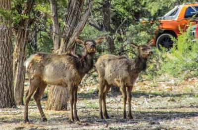 Elks (Cevus elaphus) just behind the Visitor Center