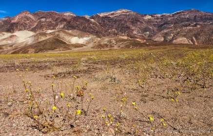 Blooming desert with yellow Desert gold (Geraea canescens) flowers