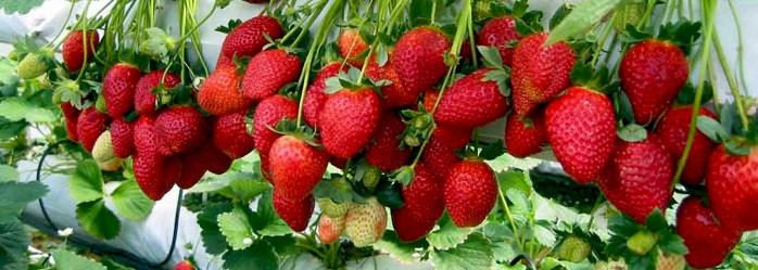 strawberry-picking-tour-info-01