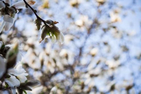 daffodils-flowers-14
