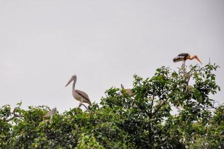 Spot billed pelicans