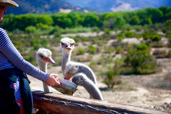 You can feed Ostriches in Solvang
